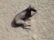 Hairless Dog from Royality