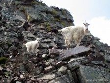 A mother mountain goat and her newborn on Pyramid Peak