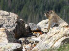 Marmot on Mt. IdaMarmot on Mt. Ida
